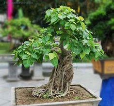 A bonsai bodhi tree.
