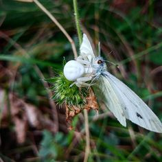 Albino spider strangling an albino butterfly. This is just a preparation for the upcoming winter. The action is just starting.     The hiking season is far from over. The most beautiful time is ahead of us: the fall!  Hiking to Lukomir highland village this weekend has shown us the first signs of colourful and exciting fall.  Experience it yourself for only 45  #HighlanderAdventures