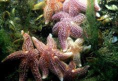 Forcipulatida   Geslacht en soort: Astarias rubens (gewone zeester)
