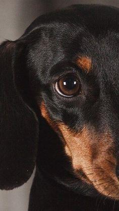 Arte Dachshund, Dapple Dachshund, Funny Dachshund, Dachshund Love, Weenie Dogs, Dachshund Puppies, Dogs And Puppies, Chihuahua Dogs, Baby Dogs