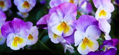 Pansy, Flowers, Purple, Nature