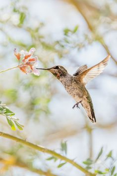 Research has shown that just being exposed to photographic scenes of nature can enhance feelings of vitality. Hope this wonderful photo of An Anna's Hummingbird feeding from an ironwood tree flower, taken by Mark Olsen works for you. #psychology #nature #wellbeing