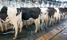 Alternatives to Factory Farmed Milk