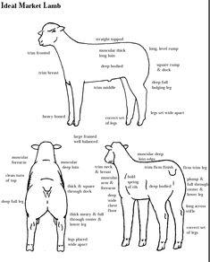Learning to judge Livestock Judging Programs: How to Judge Sheep Livestock Judging, Showing Livestock, Katahdin Sheep, 4 H Club, Animal Science, Ag Science, Show Cattle, Pet Vet, Pig Farming