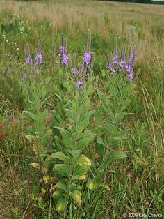 Hoary Vervain: thrives in drier soils