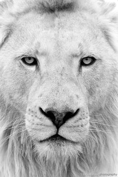 White Lion Themba from WHF Big Cat Sanctuary ༺ß༻