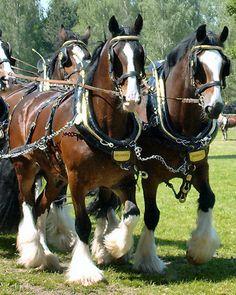 #horses Shire Horses at the Horse International, Munich 2003