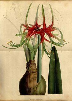 51649 Hippeastrum cybister (Herb.) Benth. ex Baker [as Sprekelia cybister Herb.]  / Houtte, L. van, Flore des serres et des jardin de l'Europe, vol. 5: p. 455 (1849)