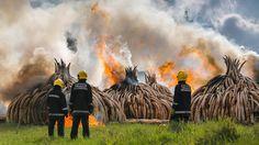 Zeichen gegen Wilderei: Kenia verbrennt über 100 Tonnen Elfenbein