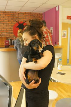 Peggy getting cuddles from her Mum  #OfficeDog #Dachshund
