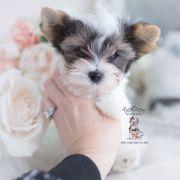 Toy or Teacup Yorkies for sale   Teacup Puppies & Boutique Micro Teacup Yorkie, Teacup Yorkie For Sale, Yorkie Puppy For Sale, Teacup Puppies, Toy Yorkie, Biewer Yorkie, Yorkies, Wire Fox Terrier Puppies, Toy Yorkshire Terrier