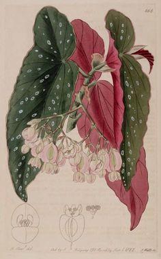 Vintage BEGONIA Botany Illustration, Antique Illustration, Floral Illustrations, Botanical Flowers, Botanical Prints, Begonia Maculata, Miniature Plants, Botanical Drawings, Collages