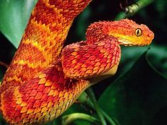 a cool looking orange and red african bush viper snake Les Reptiles, Cute Reptiles, Reptiles And Amphibians, Amazing Animals, Cute Animals, African Bush Viper, Terrarium Reptile, Cool Snakes, Colorful Snakes