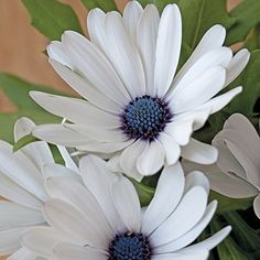 With unique midnight blue centres and a steely blue reverse it has the beauty of daisy-like flowers which are glistening white. Ideal for cut flowers. Remove dead heads to prolong the flowering season.