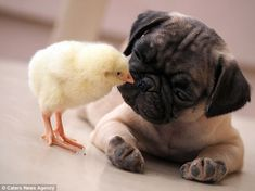 Adorable: KFC the chick plants a peck on Fugly the pug's nose. The two have become insepar...