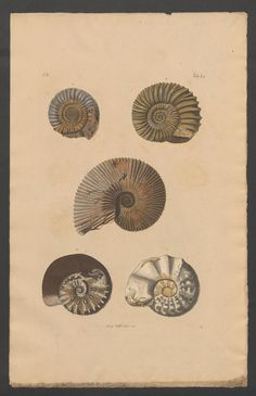 Naturgeschichte der Versteinerungen. Nature back in time. These fossils might have existed about 50 Million years ago.