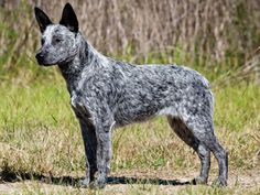 Australian Stumpy Tail Cattle Dog Pictures and Information
