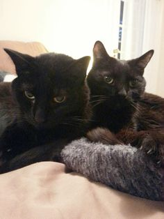 MT sent these two photos of her two snuggling black beauties.  Love Love Love!  =^..^=   During October, Cat Faeries is celebrating black cats. We will post pictures of our customer's glorious black cats.  And, we will donate 1% of our October sales to several black cat rescue groups.  Mee-wow!  You can find out more at www.catfaeries.com/blog/celebrating-black-cats-in-october/