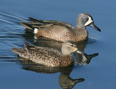 Blue Winged Teal pair Duck Identification, Great Backyard Bird Count, Teal Duck, Blue Winged Teal, Blue Wings, Beautiful Birds, North America, Hand Carved, Cute Animals