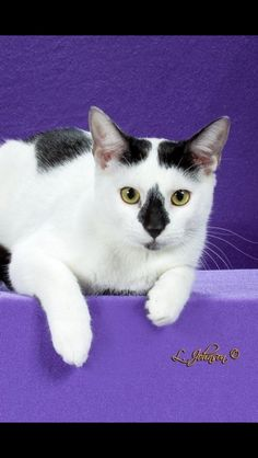 IW Dymond in the Rough -- a formerly feral kitten is 4th Best  International  HHP Kitten
