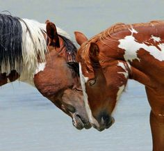 Picasso and mare, John Wagner Photography Pretty Horses, Horse Love, Beautiful Horses, Animals Beautiful, Horse Photos, Horse Pictures, Kiger Mustang, Animals And Pets, Cute Animals