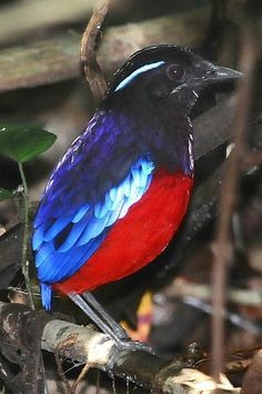 Black-crowned Pitta.  Pittas are medium-sized birds 5.9–9.8 in length, and stocky, with longish strong legs & long feet. They have very short tails and stout, slightly decurved bills. Many have brightly coloured plumage. They eat snails, insects & similar invertebrate prey. Both parents care 4 up to 6 eggs in a large spherical nest in a tree or shrub, or sometimes on the ground. Many species of pittas are migratory,  often end up in unexpected places like house-gardens during migration.
