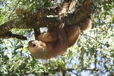 Sloth & Baby - Nicaragua Cute Baby Sloths, Cute Sloth, Tropical Forest, Zebras, Cute Animals, Wild Animals, Mammals, Animal Rescue, Animales