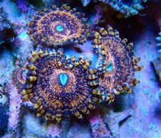 Mardi Gras Palys!!.....U get 1-2 Polyps!!..........LPS SPS Live Reef Coral