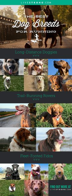 Whether you're looking for a long-distance partner, a trail running companion, or a fast-paced sprinter who'll push the pace, here are 15 dogs that fit the bill.