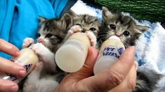 3 adorable kittens who are very excited for feeding time - http://www.thecutestkitties.com/3-adorable-kittens-who-are-very-excited-for-feeding-time/