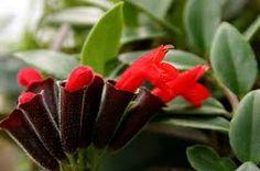 Risultati immagini per aeschynanthus lobbianus