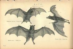 Antique Print, BATS Chart 1890 vampire bat, beautiful wall art vintage b/w engraving illustration animals Australia. $20.00, via Etsy.