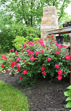 Knockout roses -- the only rose I can grow successfully. They are a perfect rose bush for those without a green thumb!