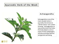 According to ayurveda, Ashwagandha is the best herb for balancing Vata dosha (one of 3 mind-body types in ayurveda). Vata governs all movement in the body, including the movement of nerve impulses throughout the nervous system.