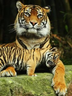 Tiger Mother and Her Young