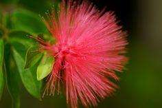 Mimosa passion