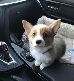 my little corgi looks like Eevee! Find your best Corgi stuffs exclusively at Corgilover. Baby Corgi, Cute Corgi Puppy, Corgi Funny, Corgi Dog, Cute Puppies, Cute Dogs, Teacup Puppies, Pomeranian Puppy, Lab Puppies