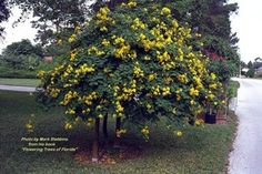 Cassia Bicapsularis Yard Ideas, Trees, Landscape, Plants, Ornamental Plants, Exotic, Seeds, Patio Ideas, Courtyard Ideas