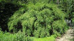 Bambou non-traçant de l'espèce Fargesia murielae. Crédit photo: Maja Dumat/Flickr.
