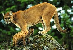 The James Bond of the big cats, the cougar has many identities. Its known as…