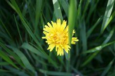 3 #Health Benefits of Dandelion! #EnabledKids