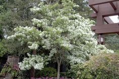 White Fringe Tree - Monrovia - White Fringe Tree