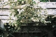 White Bougainvillea spectabilis Willd