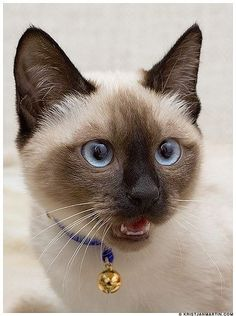 - Siamese Cat - Ideas of Siamese Cat - siamese catapplehead. The post siamese catapplehead. appeared first on Cat Gig. Siamese Kittens, Cute Cats And Kittens, I Love Cats, Crazy Cats, Cool Cats, Kittens Cutest, Tabby Cats, Funny Kittens, Bengal Cats
