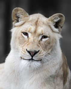 Lion's Smile by *SnowPoring on deviantART