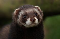 Polecat European Polecat, British Wildlife, Ferrets, Rats, Coloring Books, Creatures, Plant, Animals, Animals And Pets