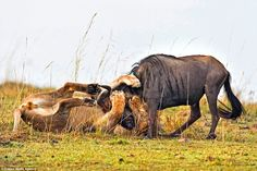 Mr Singh says that for 20 seconds the wildebeest tried to break free from the lion but as he was unable to escape from his grip, he gave up