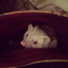 Tooo cute ❤️ #hedgehog #africanpygmyhedgehog