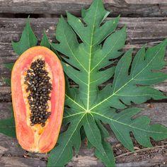 Folhas do mamoeiro, um santo remédio que quase ninguém conhece   Emagrecer: vida e saúde