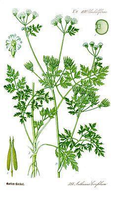 """""""Der #Echter_Kerbel ( #Anthriscus_cerefolium ) ist eine Pflanzenart, die zur…"""